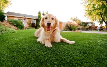 Big golden retriever dog relaxes on safe artificial dog grass by PupGear
